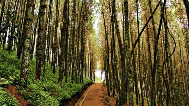 Kawasan hutan pinus Bukit Moko Bandung