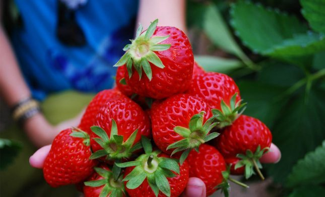 Kebun strawberry Situ Cileunca