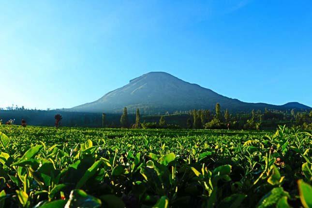 Perkebunan teh Tambi di lereng Sindoro