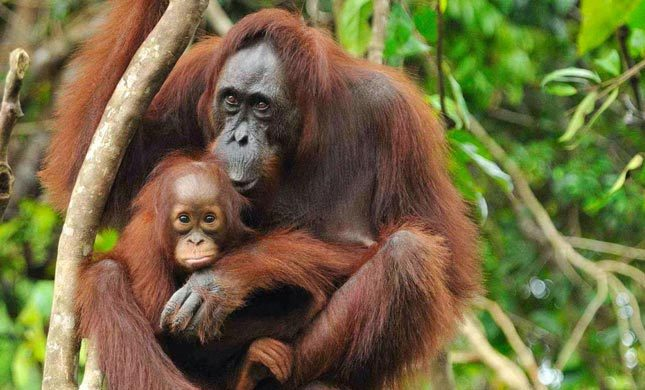Orangutan Sumatera di Bukit Lawang